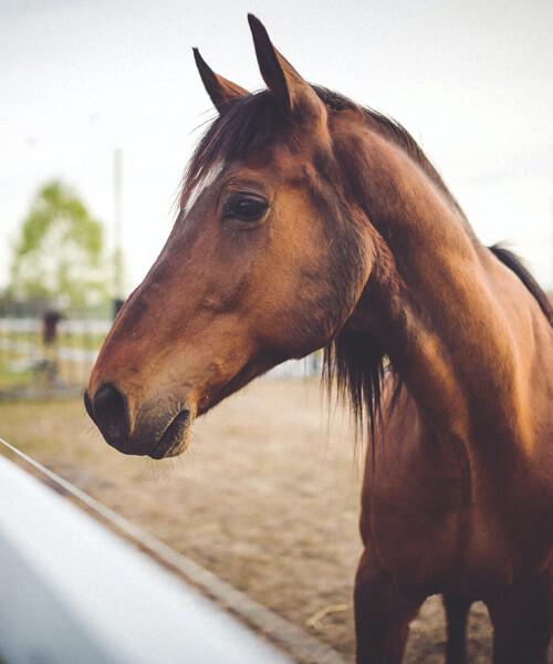 Pferd, Paddock